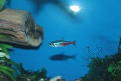De vissen van het neonaquarium Stock Foto