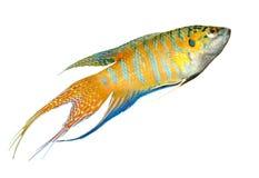 De vissen van het paradijs (macropod) die op wit worden geïsoleerda met Stock Afbeelding