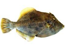 De Vissen van het varken Stock Foto