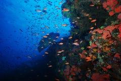 De vissen van Humphead wrasse Napoleon Stock Afbeelding