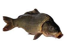 De vissen van de karper die op witte achtergrond worden geïsoleerde Royalty-vrije Stock Foto's