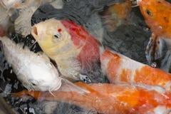 De vissen van Koi Royalty-vrije Stock Afbeelding