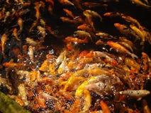 De vissen van Koi Stock Fotografie