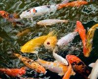 De vissen van Koi Stock Foto