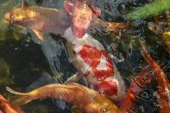 De vissen van Koi royalty-vrije stock fotografie