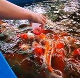 De vissen van Koi Royalty-vrije Stock Afbeeldingen
