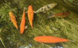 De vissen van Koi Stock Afbeeldingen
