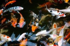 De vissen van Koi Stock Afbeelding