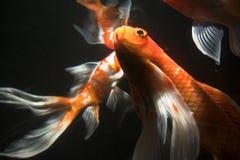 De vissen van Koi onderwater stock foto's