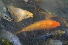 De vissen van Koi van vissen Stock Afbeeldingen