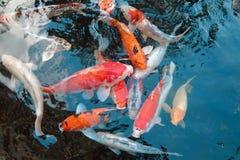 De Vissen van Koi in Vijver Stock Foto