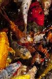 De vissen van Koi in water, hoge hoekmening Royalty-vrije Stock Foto's