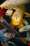 De vissen van Koi in water, hoge hoekmening Stock Fotografie
