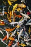 De vissen van Koi in water, hoge hoekmening Stock Foto