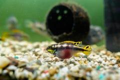 De vissen van Kribensiscichlid Stock Afbeeldingen