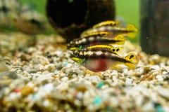De vissen van Kribensiscichlid Stock Foto's