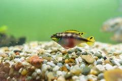De vissen van Kribensiscichlid Royalty-vrije Stock Afbeelding