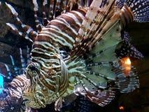De Vissen van de leeuw stock afbeeldingen