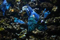 De Vissen van de leeuw royalty-vrije stock foto's