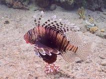 De Vissen van de leeuw Het duiken in onderwaterkoraalrifwereld stock foto