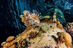 De Vissen van de leeuw in het Rode Overzees stock foto