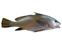 De vissen van Maigre Royalty-vrije Stock Afbeeldingen