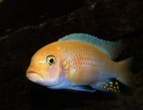 De vissen van Malawi Stock Foto