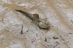 De vissen van Mudskipper Royalty-vrije Stock Afbeeldingen