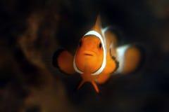 De vissen van Nemo Royalty-vrije Stock Afbeeldingen