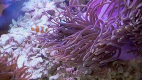 De vissen van de Nemoclown in de anemoon stock video