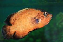 De vissen van Oscar Royalty-vrije Stock Afbeelding