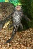 De vissen van Plecostumus. Royalty-vrije Stock Foto's