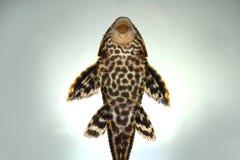 De vissen van Plecostumus van de Plecokatvis Royalty-vrije Stock Afbeeldingen