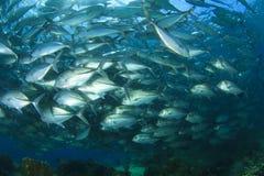 De Vissen van schooltrevally (Hefboomvissen) Stock Foto's