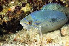 De vissen van Smaris van Spicara Stock Afbeeldingen