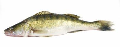 De vissen van snoekbaarzen zander Stock Foto