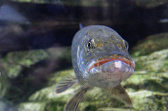 De Vissen van snoeken Royalty-vrije Stock Foto's
