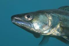 De vissen van de snoekentoppositie Stock Afbeeldingen