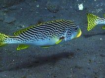 De vissen van Sweetlips Stock Foto
