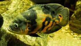 De vissen van tijgeroscar in close-up die in het water, een tropisch huisdier van Zuid-Amerika zwemt stock fotografie