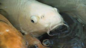 De vissen van Ulticolouredkoi zwemmen bevallig in een water, kleurrijke koivissen in de vijver stock video