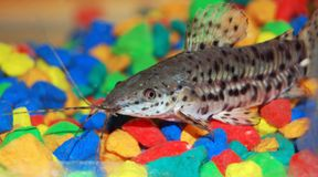 De vissen van Wisker Royalty-vrije Stock Foto's
