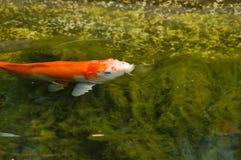 De vissen zijn gewerveld en waterdieren Royalty-vrije Stock Foto