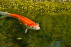 De vissen zijn gewerveld en waterdieren Stock Foto