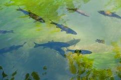 De vissen zijn gewerveld, waterdieren, die het spoelvormige lichaam en de vinnen omgezet in vinnen hebben Stock Fotografie