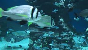 De vissen zwemmen onder water en vlotter voorbij de camera stock footage