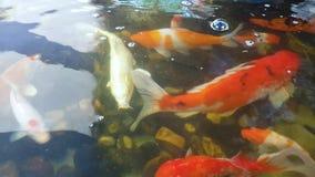 De vissen zwemmen in de pool stock video