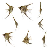 De visseninzameling van Scalare Stock Fotografie