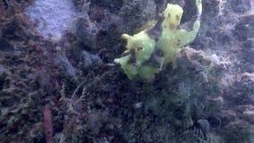 De vissensteen is gemaskeerd onderwater in oceaan van het wild Filippijnen stock footage