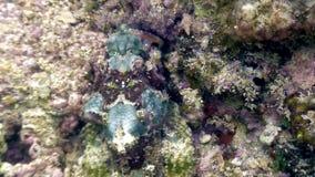 De vissensteen is gemaskeerd onderwater in oceaan van het wild Filippijnen stock videobeelden